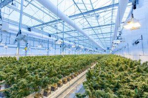 Cannabis odling i Kanada